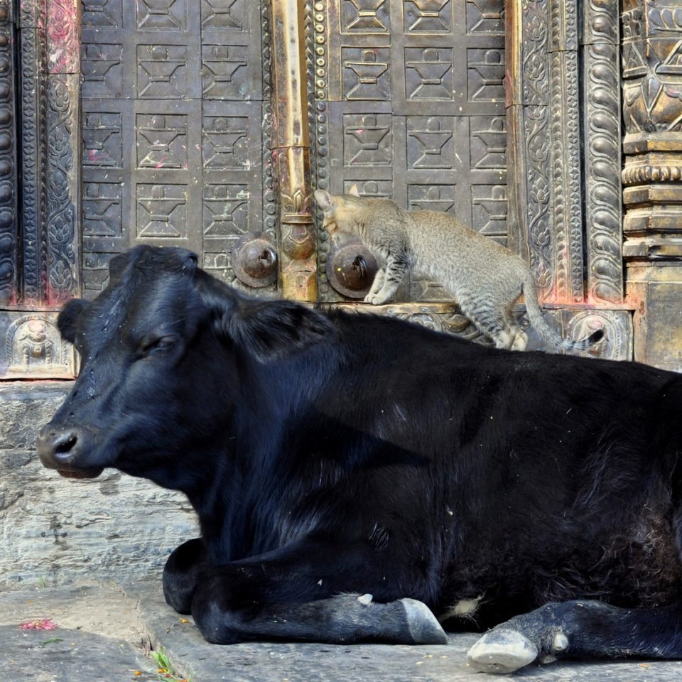 Temple de Gokarna Mahadev, Vache et chat devant le temple