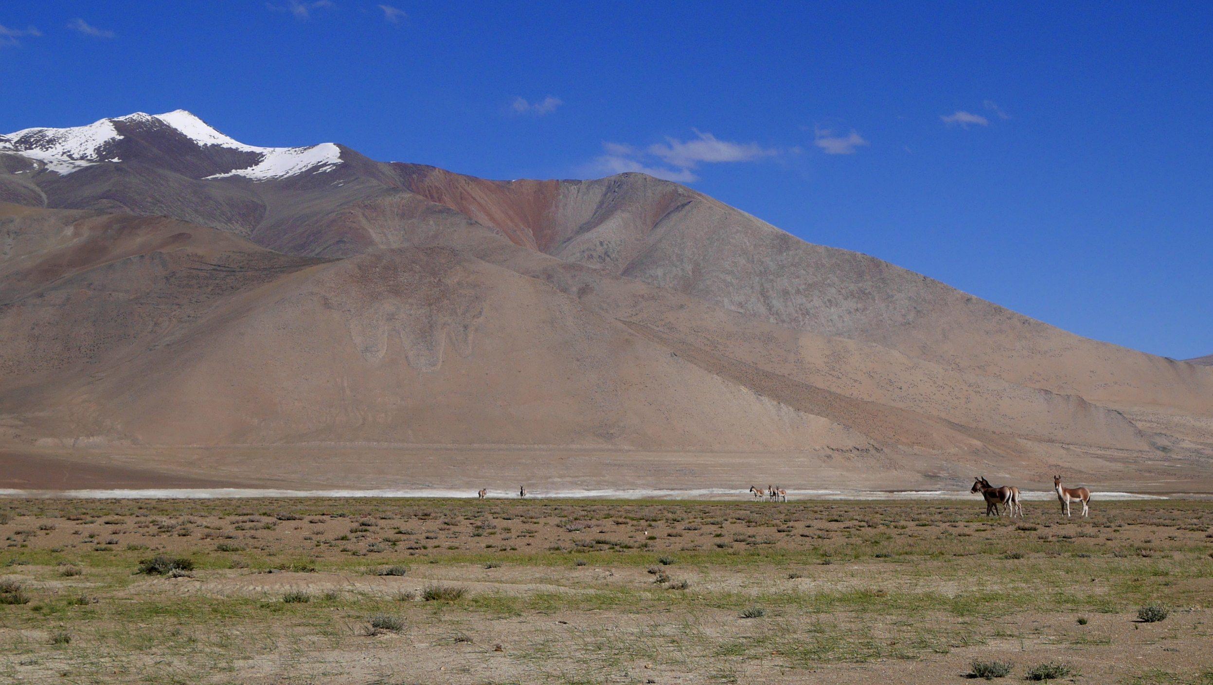 Changtang, Kyangs, Lac Tso Kar, 4500m