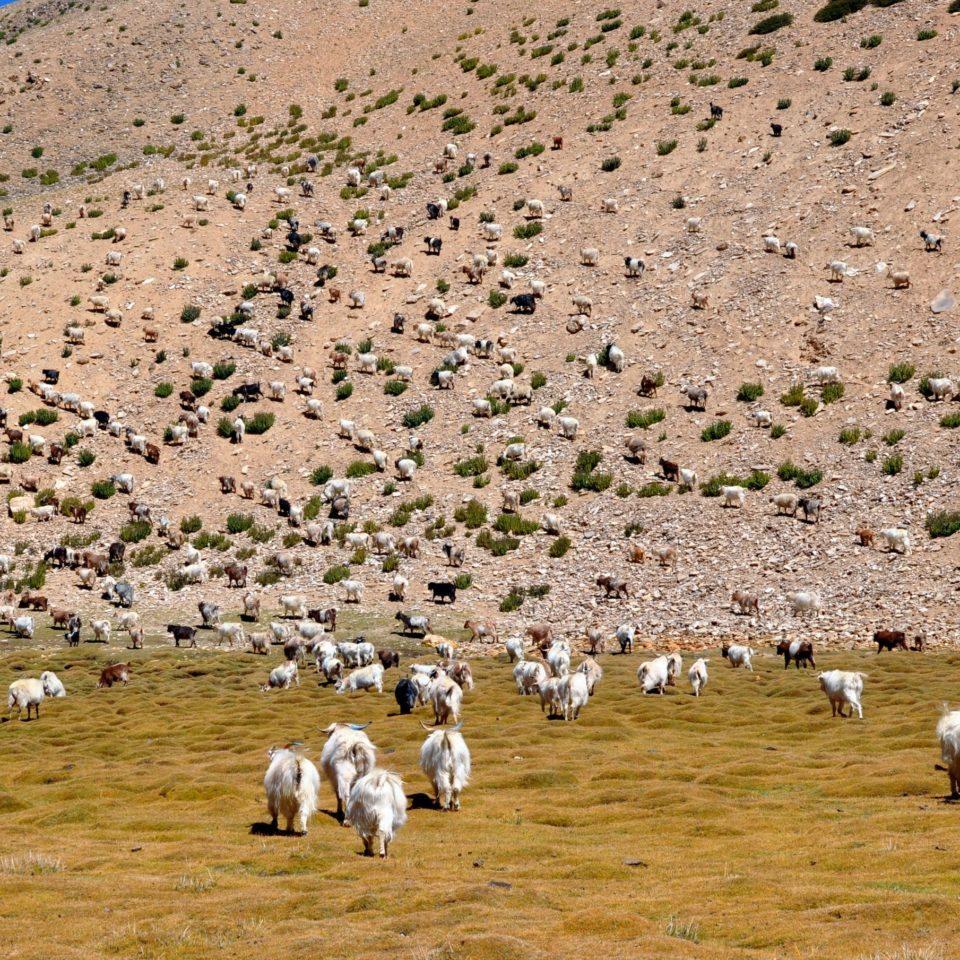 Troupeau de chèvres, vers Rachung Karu (4850m)
