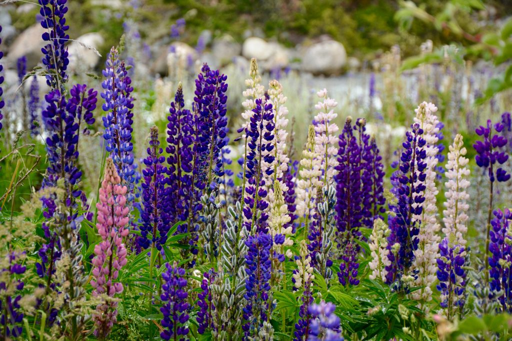 Champs de lupin sauvage